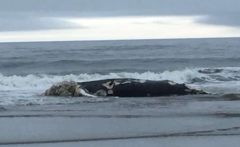 Cierran playa en Queens al encontrar una ballena muerta